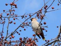 Ein grauer Vogel mit einem Büschel auf seinem Kopf und einem bunten Endstück sitzt auf einer Niederlassung eines Apfelbaums Stockfoto