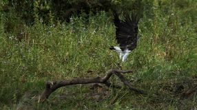 Ein grauer vorangegangener Fisch Eagle Stockfoto