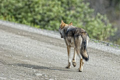 Ein grauer Wolf, der Sie betrachtet Lizenzfreie Stockbilder