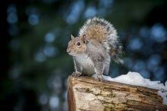 Graues Eichhörnchen auf Klotz Lizenzfreie Stockbilder