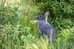 Ein graues Kaninchen in einem Garten stockfotografie