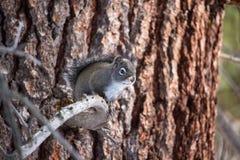 Ein graues Kieferneichhörnchen, nannte auch ein chickaree, sitzt auf einem toten Zweig stockfoto