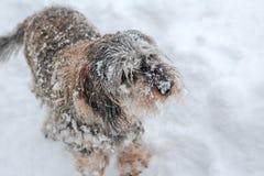 Ein graues und schneebedecktes Dachshundspielen stockfotografie