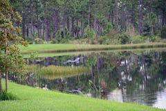 Ein Graureiher, der über einen Sumpf fliegt Lizenzfreie Stockfotografie