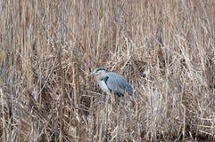 Ein Graureiher, der im Sumpfgras stillsteht stockbild