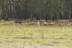 Ein Gray Deer Standing auf Wiese am Wald Stockfotos