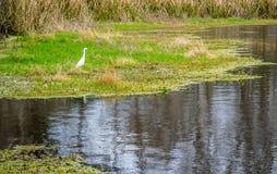 Ein Great White-Reiher in Abbeville, Louisiana lizenzfreie stockfotografie