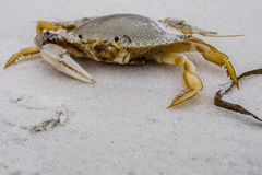 Ein-Greifer-Krabbe lizenzfreie stockfotos