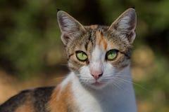Ein griechischer Pussycat. lizenzfreie stockfotos