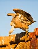 Ein Griffon Geier geht für die Nahrung Stockbilder