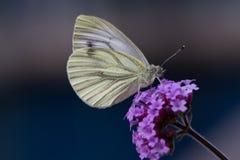 Ein grüner geäderter Schmetterling auf purpurroter Blume Lizenzfreie Stockbilder