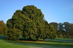 Ein großartiger Kastanie-Baum Stockfotos