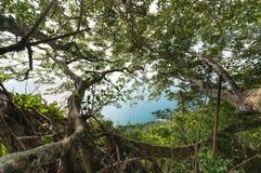Ein großer alter Banyanbaum, der über dem Meer in einem tropischen Wald in Vietnam schaut Stockbild