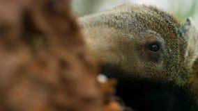 Ein Großer Ameisenbär auf den Ebenen von Südamerika Leistungsfähige Vorderbeine ermöglichen es, einen Termitenhügel auseinander l lizenzfreie stockfotografie