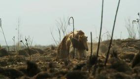 Ein Großer Ameisenbär auf den Ebenen von Südamerika Leistungsfähige Vorderbeine ermöglichen es, einen Termitenhügel auseinander l stockbilder