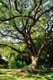Ein großer Baum in einem forrest Lizenzfreies Stockbild