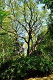 Ein großer Baum in einem forrest Lizenzfreies Stockfoto