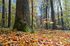 Ein großer Baum im Herbstwald stockbilder