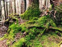 Ein großer Baum mit dem Moos, das im Wald auf der Wurzel wächst lizenzfreies stockbild