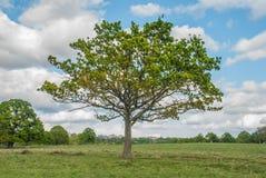 Ein großer Baum mit einem Hintergrund des Himmels in Richmond Park lizenzfreie stockfotografie