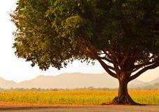 Ein großer Baum nahe Sonnenblumefeld. lizenzfreies stockfoto
