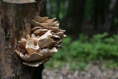 Ein großer Baumpilz auf einem Baum Stockbilder