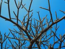 Ein großer blattloser Baum und ein blauer Himmel Stockbild