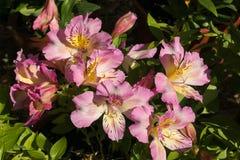 Ein großer Blumenstrauß von rosa Alstroemeria blüht im Garten stockbilder