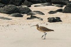 Ein großer Brachvogel, der auf sandigen Strand geht Stockbilder