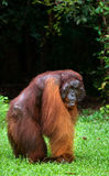 Ein großer dominierender Mann, der auf dem Gras sitzt indonesien Die Insel von Kalimantan Borneo Stockfotografie