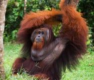 Ein großer dominierender Mann, der auf dem Gras sitzt indonesien Die Insel von Kalimantan Borneo Lizenzfreies Stockbild