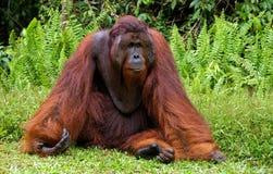 Ein großer dominierender Mann, der auf dem Gras sitzt indonesien Die Insel von Kalimantan Borneo Lizenzfreie Stockbilder