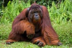 Ein großer dominierender Mann, der auf dem Gras sitzt indonesien Die Insel von Kalimantan Borneo Lizenzfreies Stockfoto