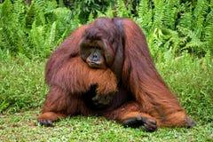 Ein großer dominierender Mann, der auf dem Gras sitzt indonesien Die Insel von Kalimantan Borneo Lizenzfreie Stockfotos