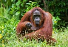 Ein großer dominierender Mann, der auf dem Gras sitzt indonesien Die Insel von Kalimantan Borneo Stockfotos