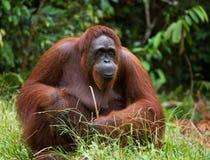 Ein großer dominierender Mann, der auf dem Gras sitzt indonesien Die Insel von Kalimantan Borneo Stockbild