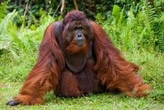 Ein großer dominierender Mann, der auf dem Gras sitzt indonesien Die Insel von Kalimantan Borneo Lizenzfreie Stockfotografie
