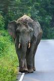 Ein großer Elefant, der entlang die Stadtrandstraße geht Lizenzfreies Stockfoto