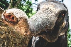 Ein großer Elefant zeichnet einen Stamm zur Kamera stockbild