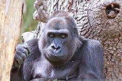 Ein großer erwachsener Gorilla Headshot, der nahe bei einem Baum unten schaut sitzt Lizenzfreies Stockfoto