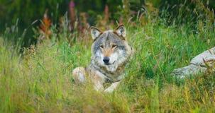 Ein großer erwachsener Mannesgrauer Wolf steht im Wald still stock video