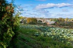 Ein großer Garten, in dem der gereifte Kohl wächst, der von den Einwohnern von Russland gepflanzt wurde stockbild