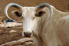 Ein großer gebogener Hupe Afrikanerstier Lizenzfreie Stockfotografie