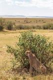 Ein großer Gepard hinter einem Busch Savanne des Masais Mara, Kenia stockfoto