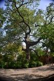 Ein großer grüner Baum Lizenzfreies Stockfoto