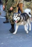 Ein großer heiserer Hund des grauen Weiß ist in den Rängen mit dem Eigentümer, ein Soldat der ukrainischen Armee stockfoto