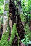 Ein großer hoher Baum und Gehweg bei Kao Yai National Park, Thailand Stockbild