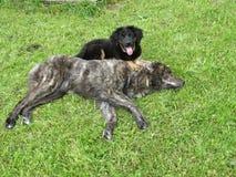 Ein großer Hund überwältigt durch einen Welpen Stockbild