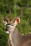 Ein großer Kudu Stier im Addo Park, Südafrika Lizenzfreie Stockfotografie