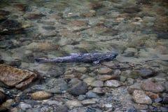 Ein großer laichender Lachs Stockfoto